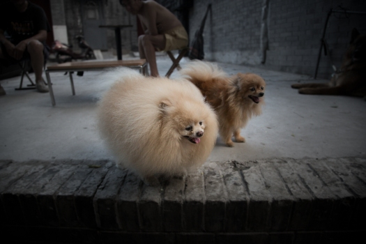 Furry dogs in a Hutong Street - Bejing China